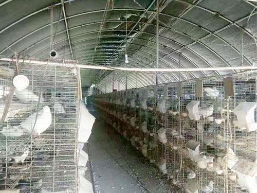 鴿子養殖大棚設計成什么樣的好